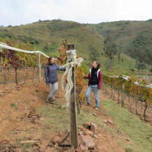 Uvairendas Cabernet Sauvignon vinyard at 1.750 m